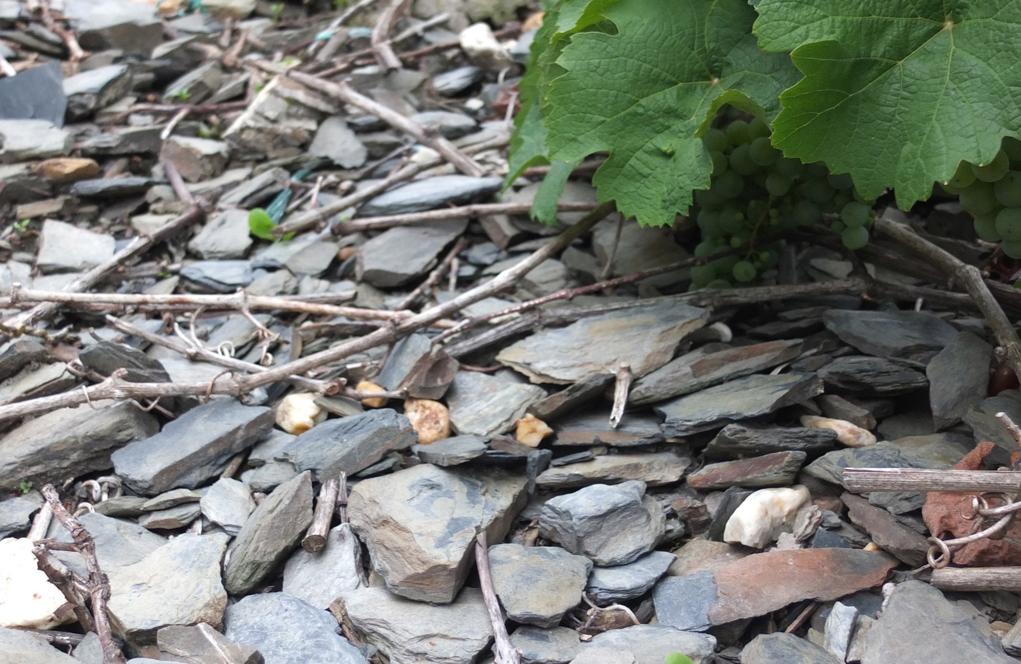 Moselriesling wächst auf Schiefer © Daniela Dejnega